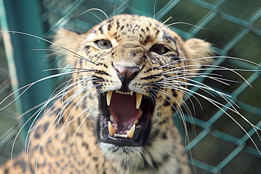 A leopard inside its enclosure at a zoo in Jammu, India. It took nearly 100 foresters to recapture a leopard that escaped in eastern India on New Year's Day.