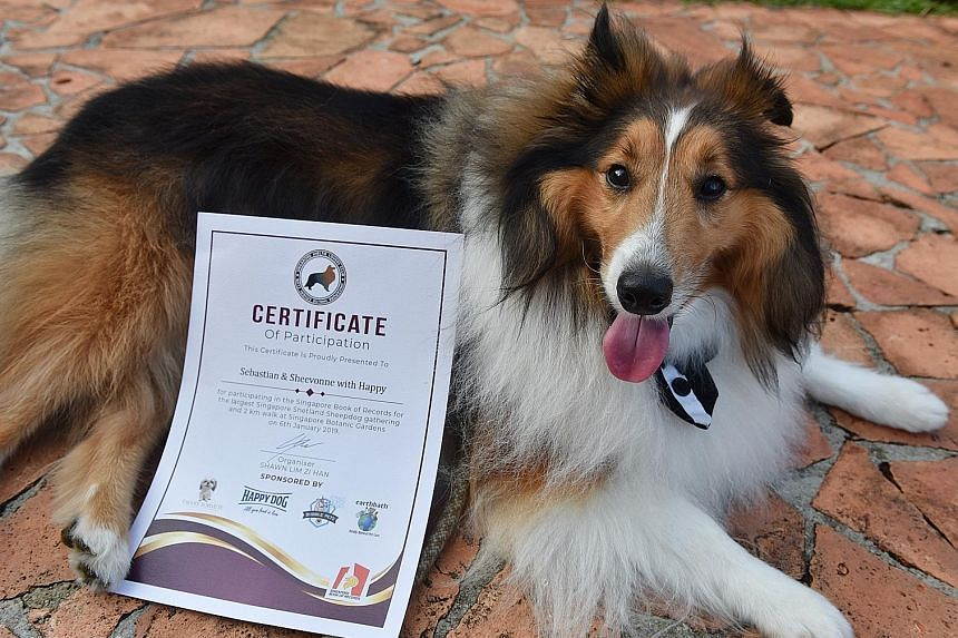 It was a bark-worthy event yesterday at the Singapore Botanic Gardens for many Shetland sheepdogs - or Shelties - and their owners. About 200 people and nearly 100 dogs joined the Singapore Sheltie Lovers Club - a non-profit organisation - to unleash