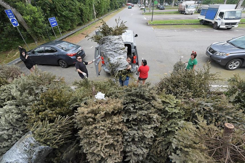 Some 300 pines and firs were collected at the Singapore Zoo's carpark on Saturday after the Wildlife Reserves Singapore appealed to the public to donate their live Christmas trees so that beavers and other animals at the zoo and River Safari can have