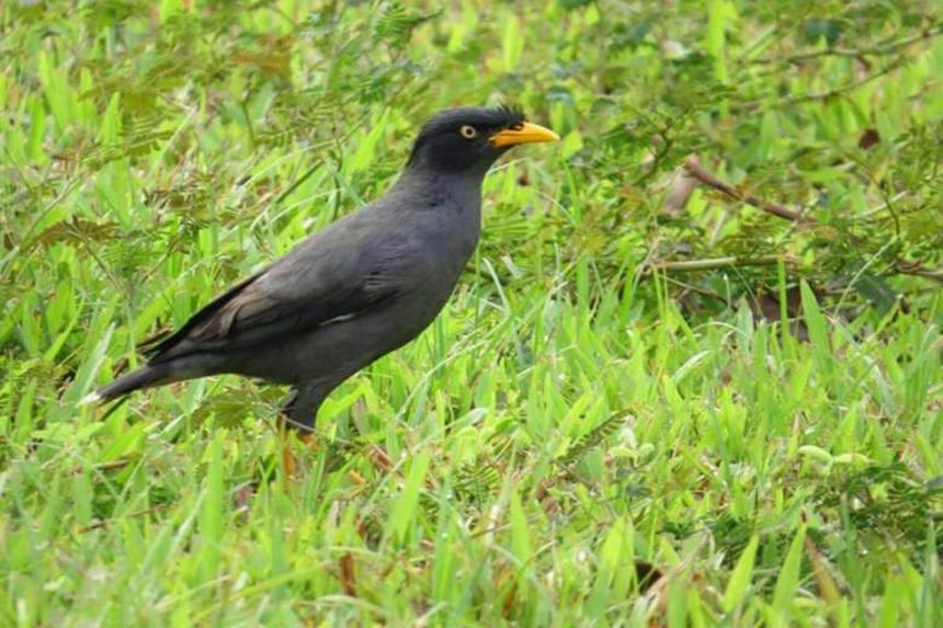 The Javan mynah, while considered an invasive species here, is actually a protected species in its native country of Indonesia as a result of poaching.
