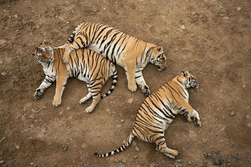 """This file photo taken on August 25, 2017 shows Siberian tigers resting in the Hengdaohezi Siberian Tiger Park in Hengdaohezi township on the outskirts of Mudanjiang. - """"Runaway consumption"""" has decimated global wildlife, triggered a mass extinction a"""