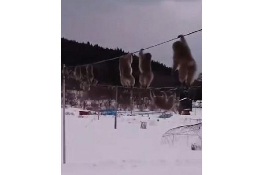 A video posted on Twitter shows a stream of the monkeys deftly shuffling along a cable, gripping one below with their feet and an upper one with their hands.