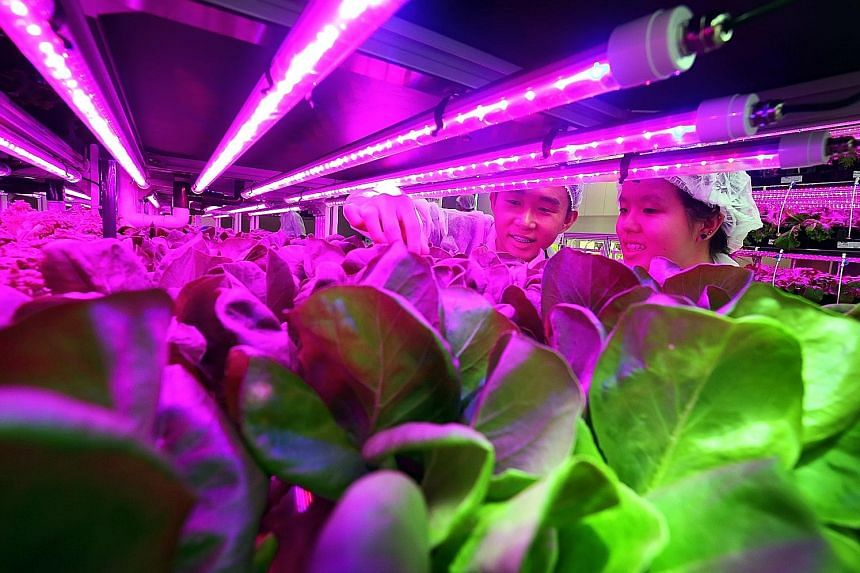 Republic Polytechnic second-year biotechnology students Lim Wei Han (left), 20, and Jocelyn Tew Zhi Ning, 19, inspecting plant growth in the hydroponic system at the Agriculture Technology Laboratory.