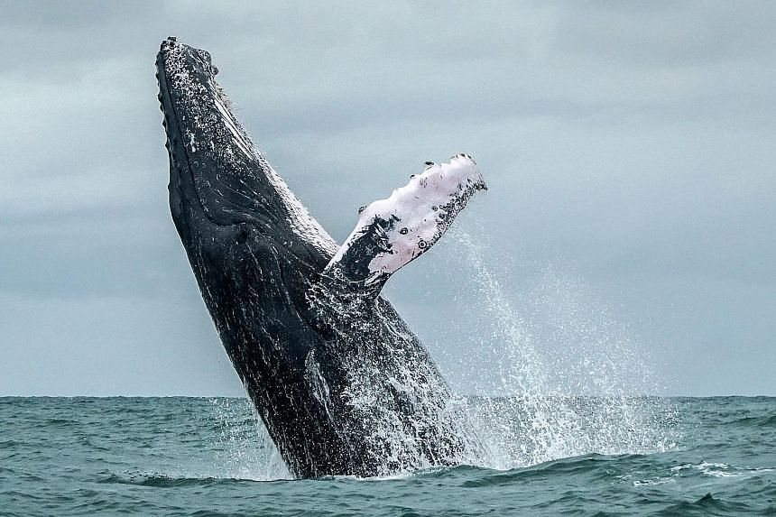 A new study has found an unexpected singing pattern among humpbacks: Once their songs reach a certain level of complexity, they drop that tune entirely and pick up a new, simpler one.
