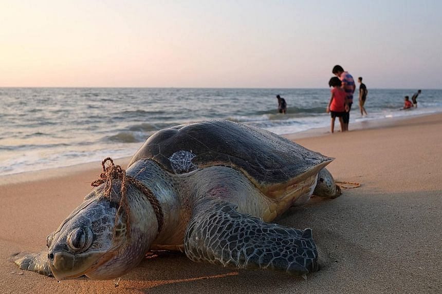 A dead olive ridley sea turtle found with a rope around its neck on Marari Beach near Mararikulum in southern India's Kerala state on Thursday. These turtles hatch by the millions each year in their nesting grounds along the coast of Odisha state in