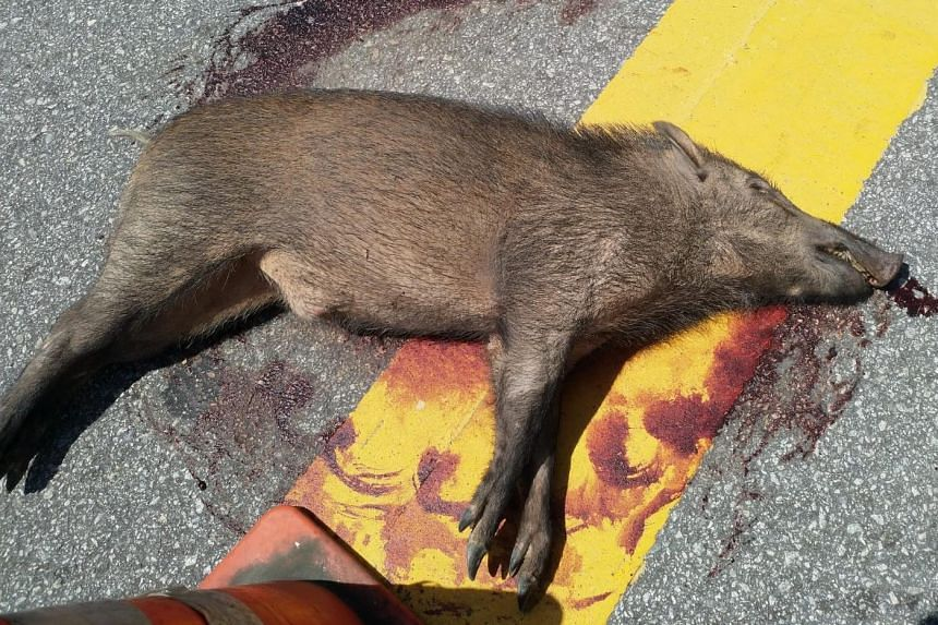 The boar can be seen lying on its side in the middle of the road following the accident outside the Waterway Point shopping mall.