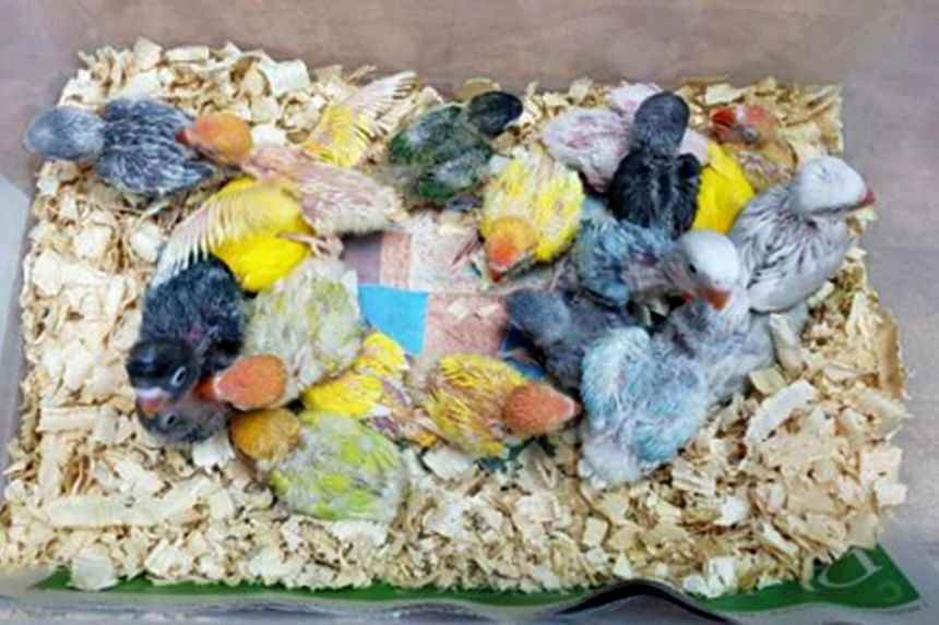 Birds that a man tried to smuggle into Singapore on Dec 21. Dogs, cats and birds are the three most common smuggled non-exotic pet animals.