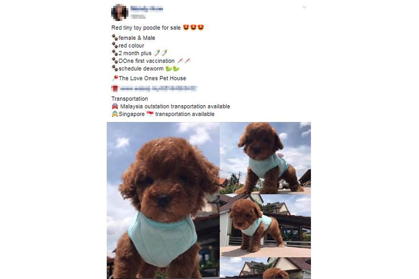 Birds that a man tried to smuggle into Singapore on Dec 21. Dogs, cats and birds are the three most common smuggled non-exotic pet animals. Facebook posts advertising a toy poodle and a munchkin cat for sale. Importing animals without an AVA permit i