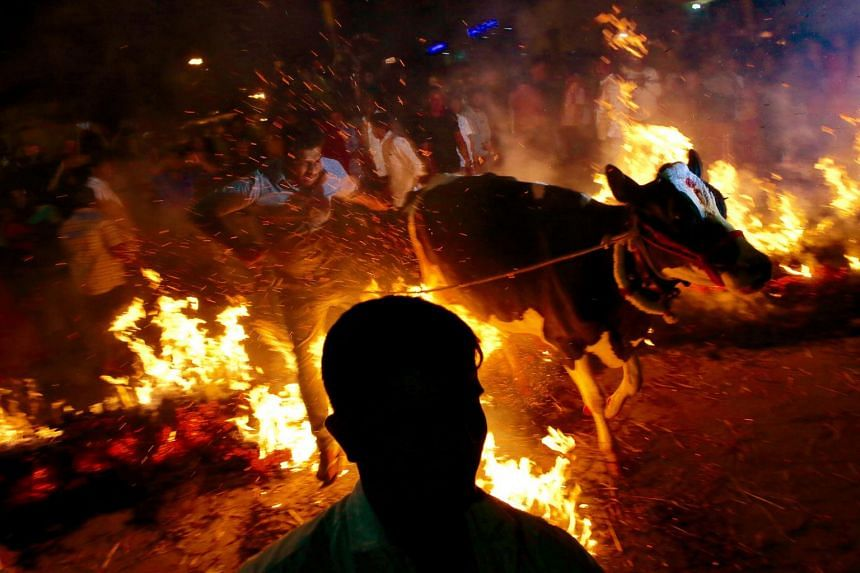 Indian men pull cows over a bonfire as part of the Pongal festival celebrations in Bangalore, India, on Jan 15, 2019.