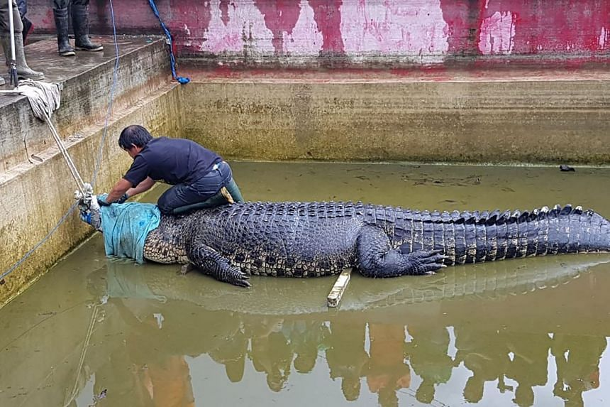 The 4.4m-long crocodile named Merry being secured before being taken out of its enclosure in Minahasa, Sulawesi, after a woman was mauled to death on Jan 10 in the reptile's enclosure.