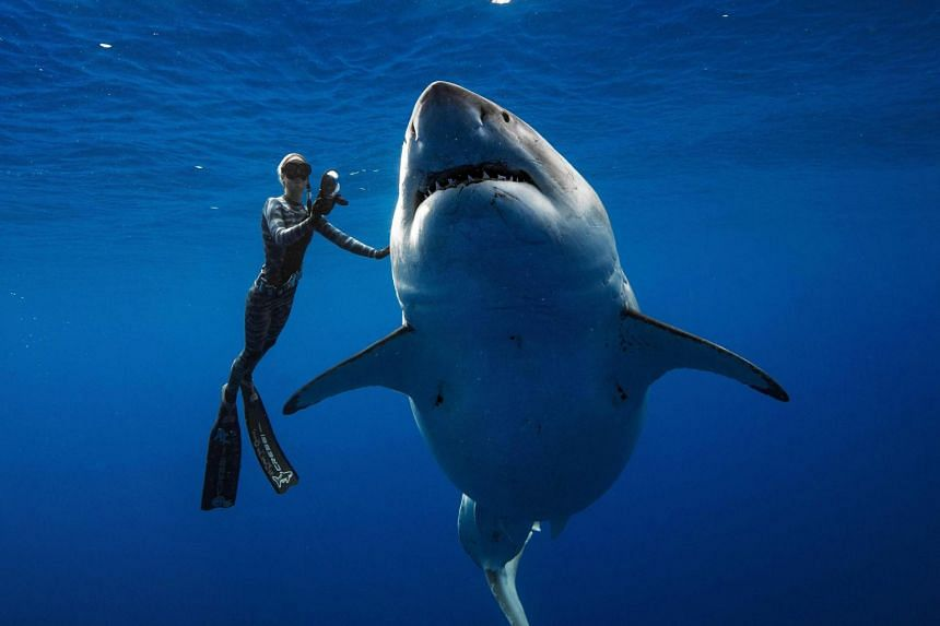 Diver Ocean Ramsey swims next to a female great white shark off the coast of Oahu, Hawaii on Jan 15, 2019.