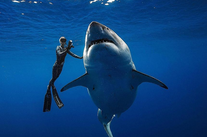 It was a sight to behold as diver Ocean Ramsey swam next to a female great white shark off the coast of Oahu, in Hawaii. The 6m shark, believed to be one of the biggest on record, made its surprise appearance on Tuesday, joining other sharks that wer