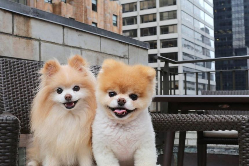 Boo's friendship with Buddy (left) blossomed in 2006 when he joined the family, who are based in San Francisco.