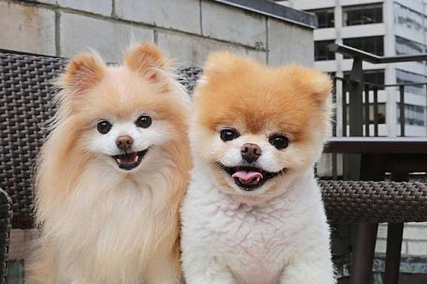 The owners of Boo (at right) said he was affected by the loss of his best friend Buddy, which died about a year ago.