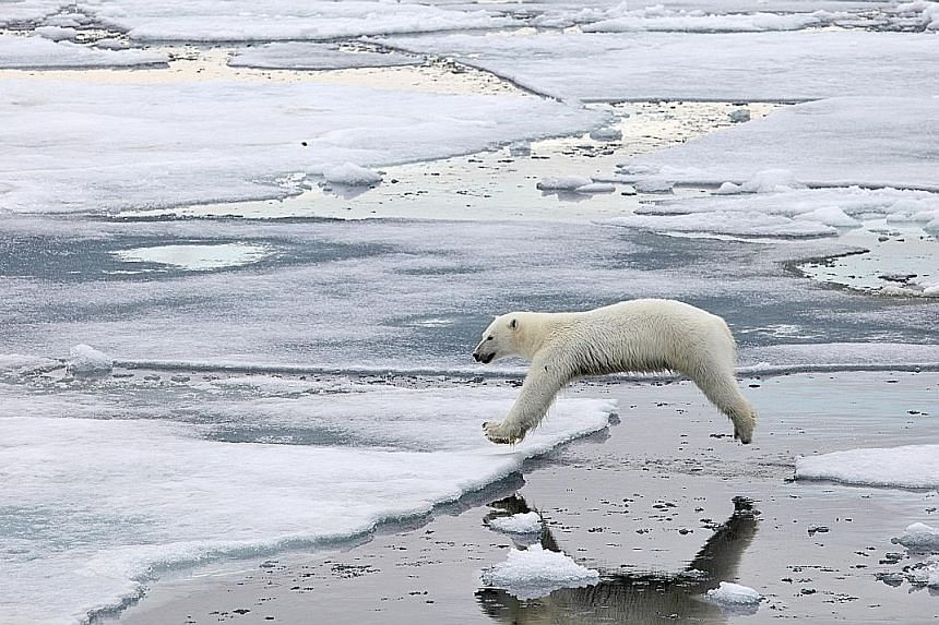 "A polar bear in the Svalbard Islands in Norway. Minister of State for Foreign Affairs Sam Tan said melting polar ice caps ""pose a threat not just to the surrounding region, but to low-lying islands such as Singapore""."