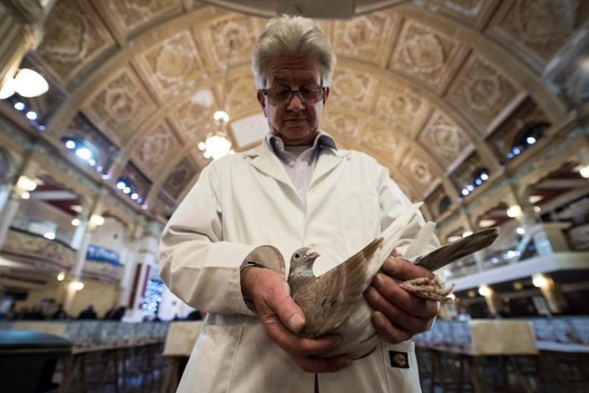 Show steward John Watson inspects his recently purchased pigeon at the annual two-day British Homing World Show of the Year in the Winter Gardens in Blackpool, north west England, on Jan 20, 2019.
