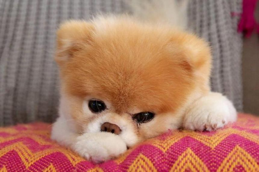 Boo's owners announced in a Facebook post on Jan 19, 2019, that the pomeranian had died.