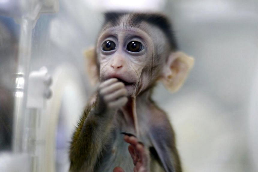 A monkey cloned from a gene-edited macaque with circadian rhythm disorders seen in a lab at the Institute of Neuroscience of Chinese Academy of Sciences in Shanghai, on Jan 18, 2019.