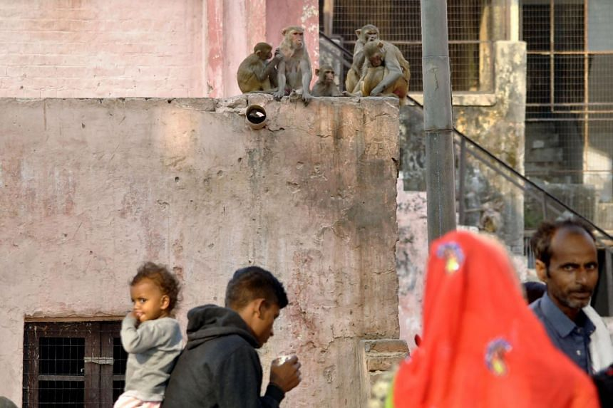 There are 500-700 rhesus macaques living in and around the Taj Mahal.