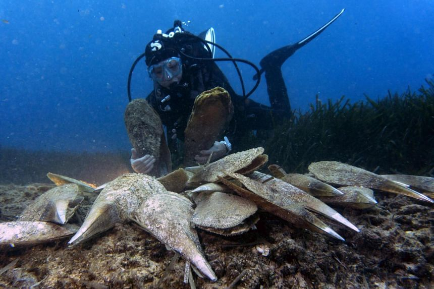 A diver looks at noble pen shells, also known as Pinna nobilis, in Villefranche-sur-mer, southern France on Jan 16, 2019.
