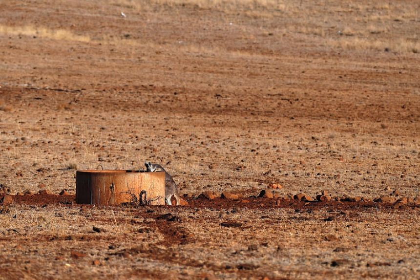 A kangaroo drinks from a water tank in a drought-affected paddock west of the town of Gunnedah in north-western New South Wales, in Australia, June 3, 2018.