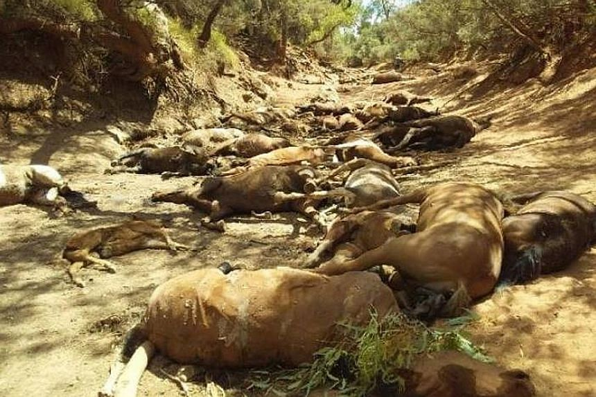 Dead brumbies, or feral horses, found in a dried-up waterhole in the Northern Territory on Thursday are shown in a photo released by AAP. Australia is reeling from a heatwave that peaked when Adelaide topped 47.7 deg C.