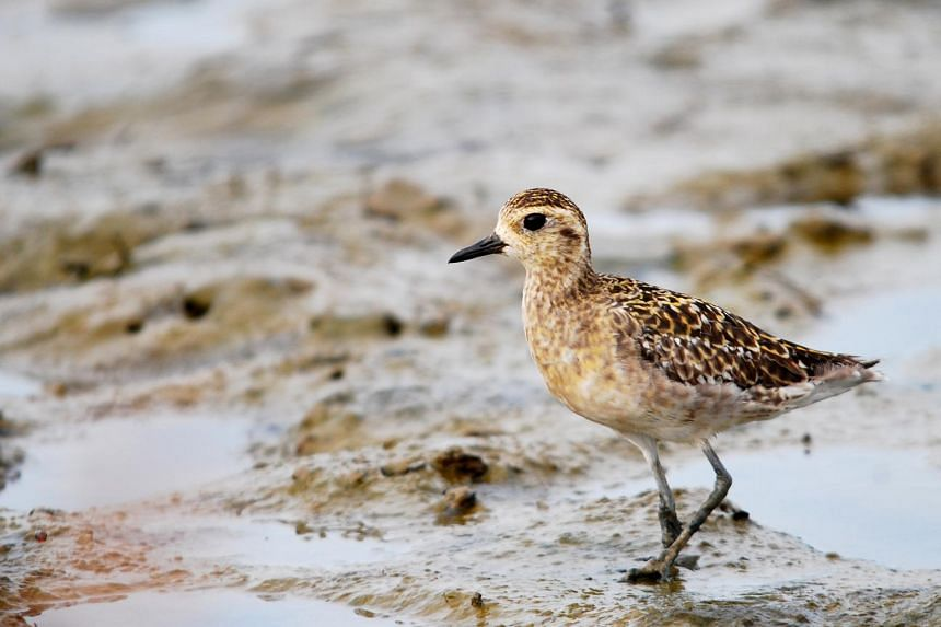 """The Pacific Golden Plover is one of the  2,000 migratory birds that visit Sungei Buloh Wetland Reserve to """"refuel"""" every year."""