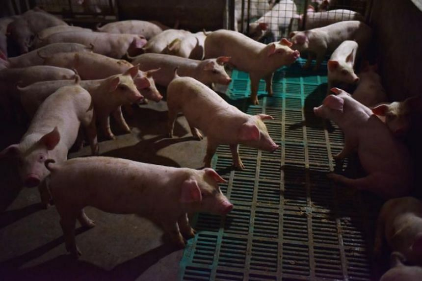 Danish exports of pigs and pork were in 2016 worth a total of about 30 billion kroner (S$6.2 billion).