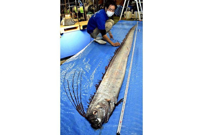 A deep-sea slender oarfish is examined at the Uozu Aquarium in Uozu, Japan.