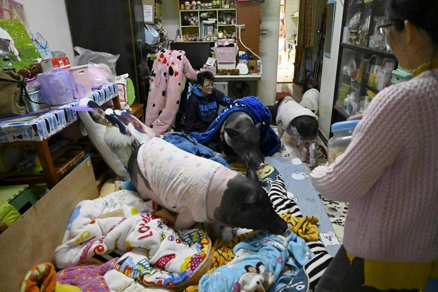 Jenny Tsai (right) and her roommate with Tsai's four pet pigs in their apartment in Taichung, central Taiwan.