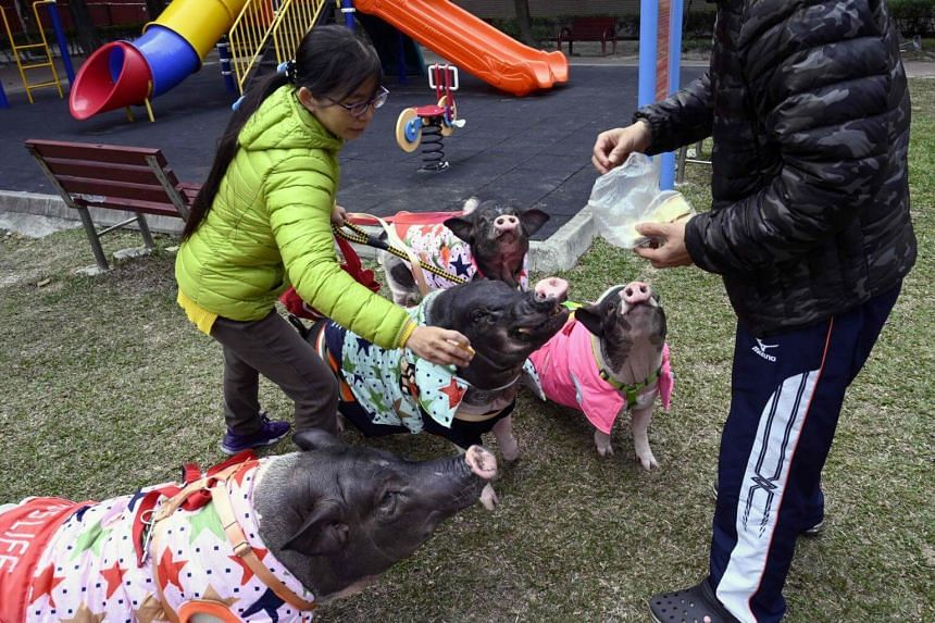 Jenny Tsai (left) walking her pet pigs in a park in Taichung, central Taiwan.