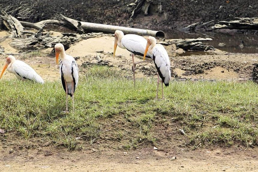 Endangered Milky Storks, wading birds native to South-east Asia, are further threatened due to cross-breeding with their more common cousin, the Painted Stork.