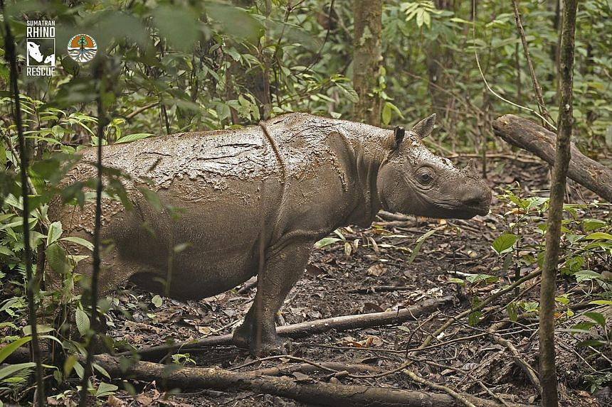 Pahu in her new home at a Sumatran rhino sanctuary in Indonesia, after being rescued from her threatened habitat and isolation. Sumatran rhinos like Pahu are extremely unique and uniquely endangered, says the writer.