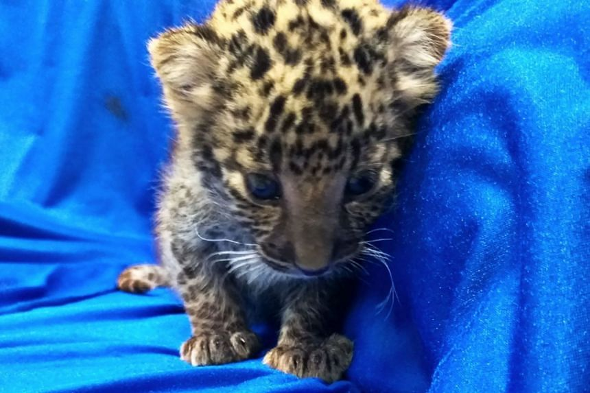 The cub, weighing just over 1kg , was found in a plastic grocery basket hidden inside a bag after the passenger arrived in India on a Thai Airways flight.