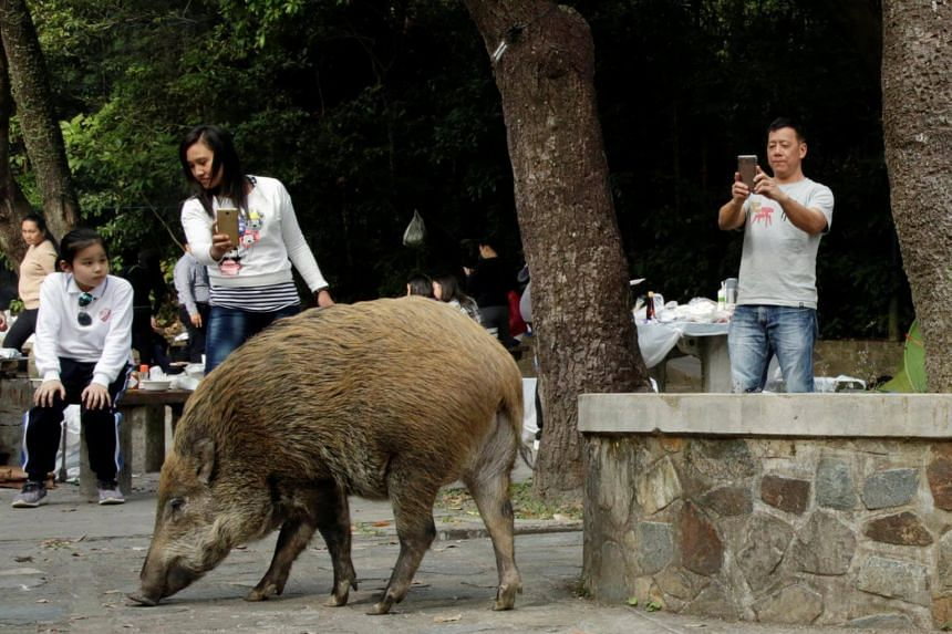 People point their phones at a wild boar foraging near barbecue pits at the Aberdeen Country Park in Hong Kong, on Jan 27, 2019.
