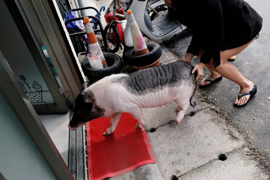 A pet pig walks into a vet clinic for health inspection, in Taoyuan, Taiwan, on Jan 29, 2019. Veterinarian Chang Chien-ming said only one in 100 vet clinics accept pig patients.