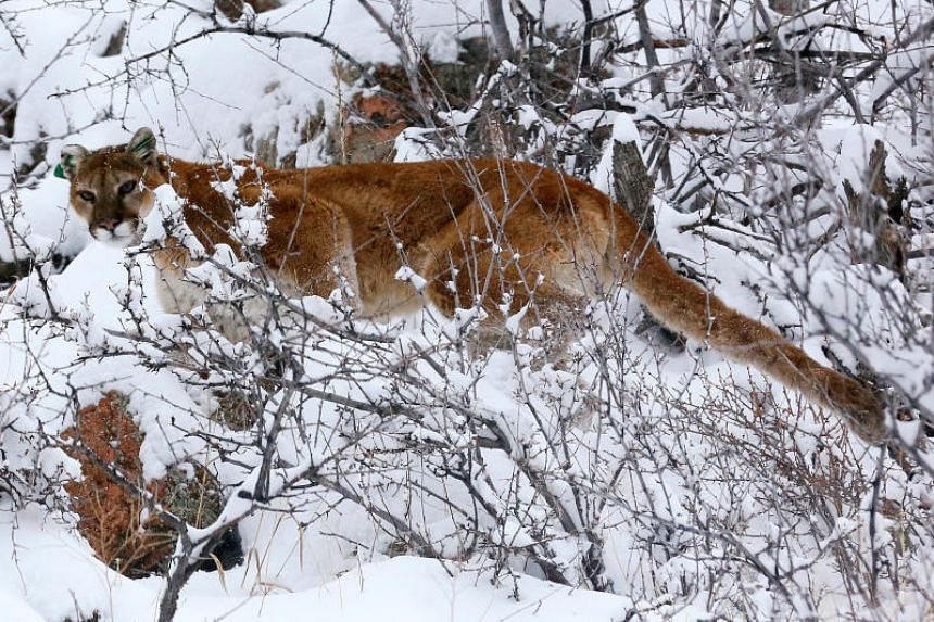 Colorado Runner Kills Mountain Lion 'in Self Defense' After It Attacks Him
