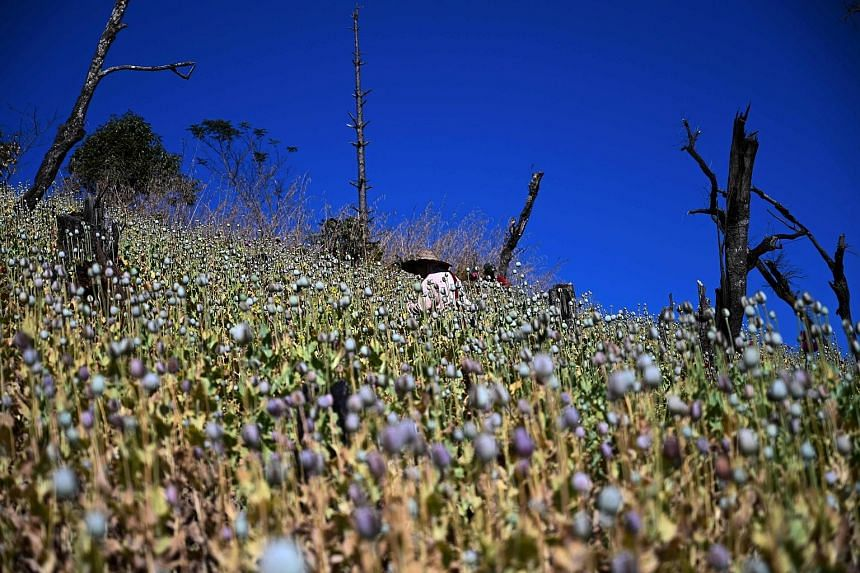 A farmer working in an illegal poppy field in Hopong, Myanmar's Shan state, on Sunday. Fields of purple opium poppy stretch across the pastures and peaks of mountainous eastern Myanmar, with many farmers reluctant to give up the profitable cash crop