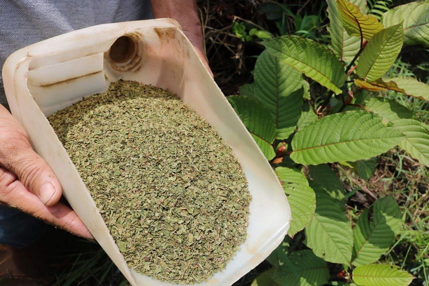 Kratom stimulates the same brain receptors as morphine, although it produces much milder effects.