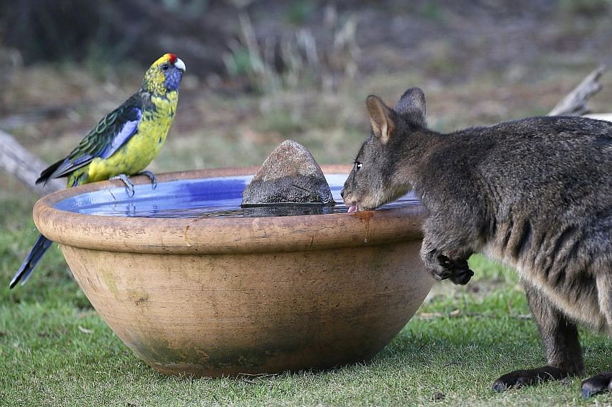 A green rosella and a wallaby at a water bowl put out for wild animals in Tasmania. Australia had its hottest January on record last month.