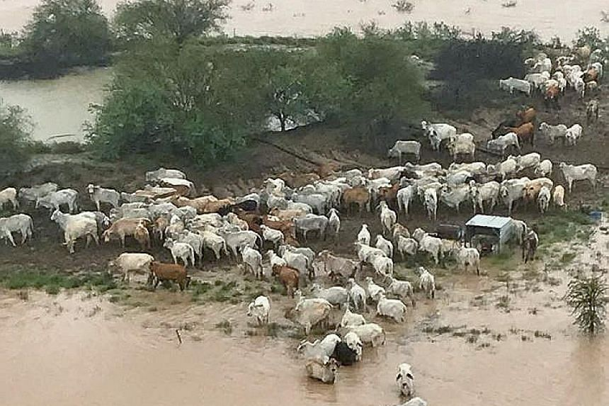 Above: Cattle weakened from the severe drought in a flooded area near Julia Creek township in Queensland on Thursday. Left: A herd of cattle trapped by flood waters.