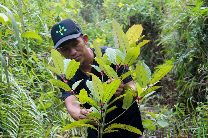 Indonesian kratom grower Gusti Prabu (far right) tending to his plants in Pontianak, West Kalimantan. Kratom leaves (seen dried and shredded) have been hailed by some advocates as a miracle treatment.