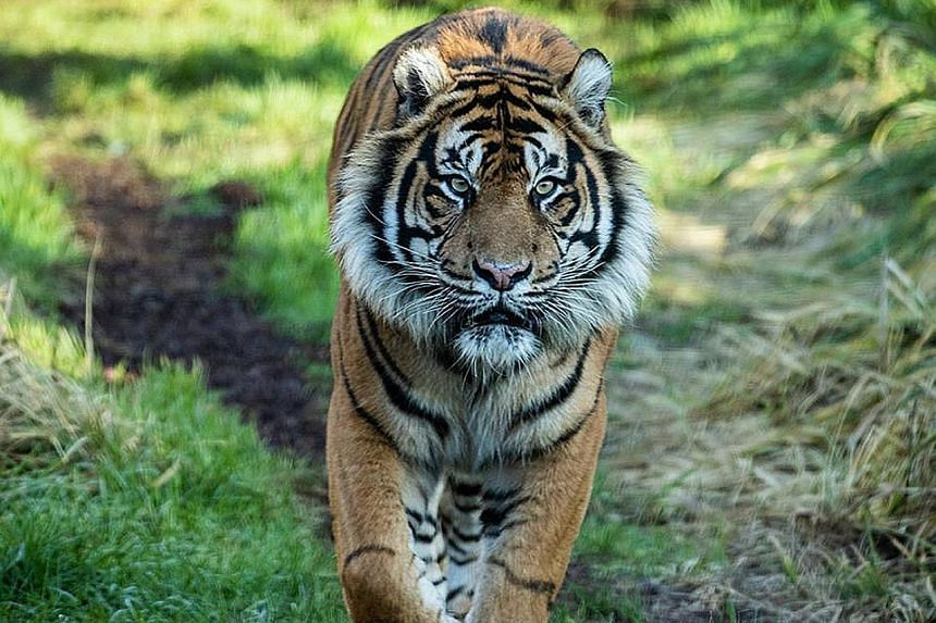 Zookeepers at the London Zoo were hoping to introduce this rare Sumatran tiger, named Asim, to their resident tiger, as part of a Europe-wide conservation programme for the endangered subspecies but he killed the female tiger instead.