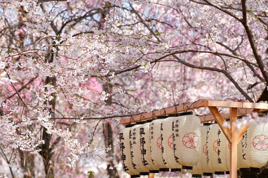 Japan's sakura or cherry blossom season is feverishly anticipated by locals and visitors alike.