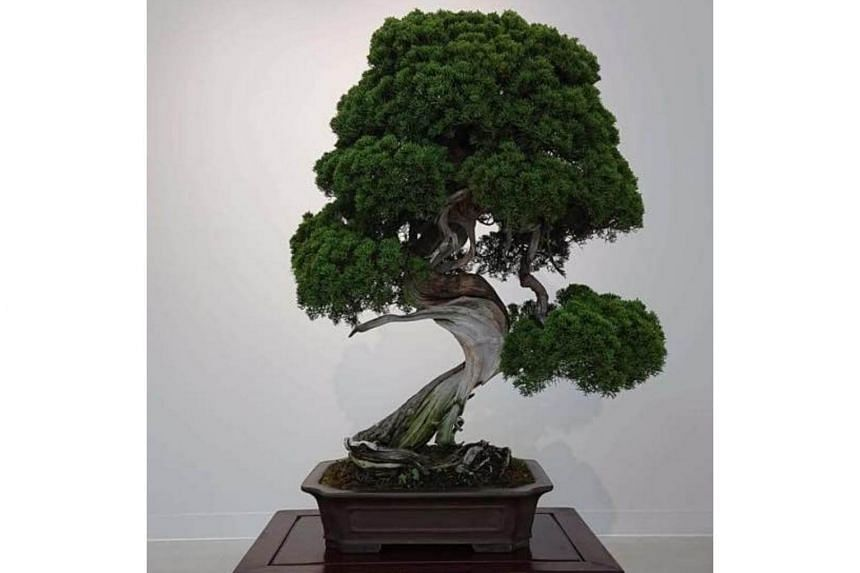 Thieves stole a small fortune's worth of bonsai trees from Ms Fuyumi Iimura and her husband, including the one pictured.