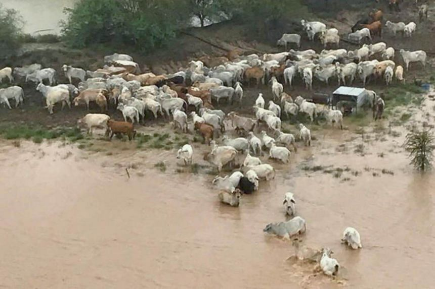 Heavy rains over an almost two-week period turned dusty and parched land in Queensland state into vast swathes of mud that bogged down already weakened cattle.