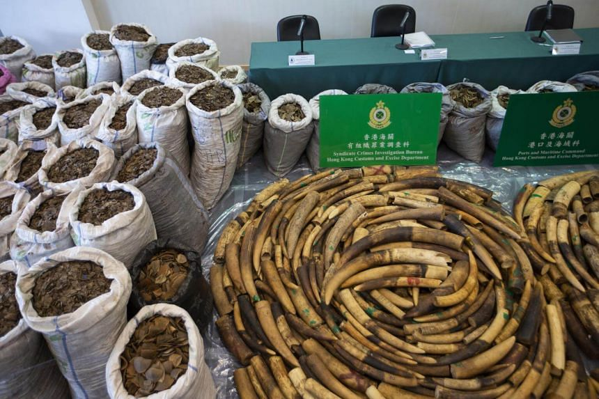 Elephant tusks weighing more than two metric tons and over eight metric tons of pangolin scales are displayed at a Hong Kong Customs press briefing at Kwai Chung Customhouse Cargo Examination Compound in Kowloon, Hong Kong, on Feb 1, 2019.