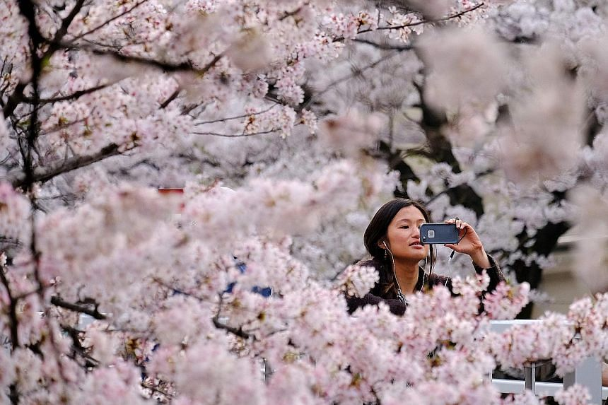Sakura season is big business in Japan. Blooms begin as early as March in southern Kyushu and appear as late as May in northernmost Hokkaido.