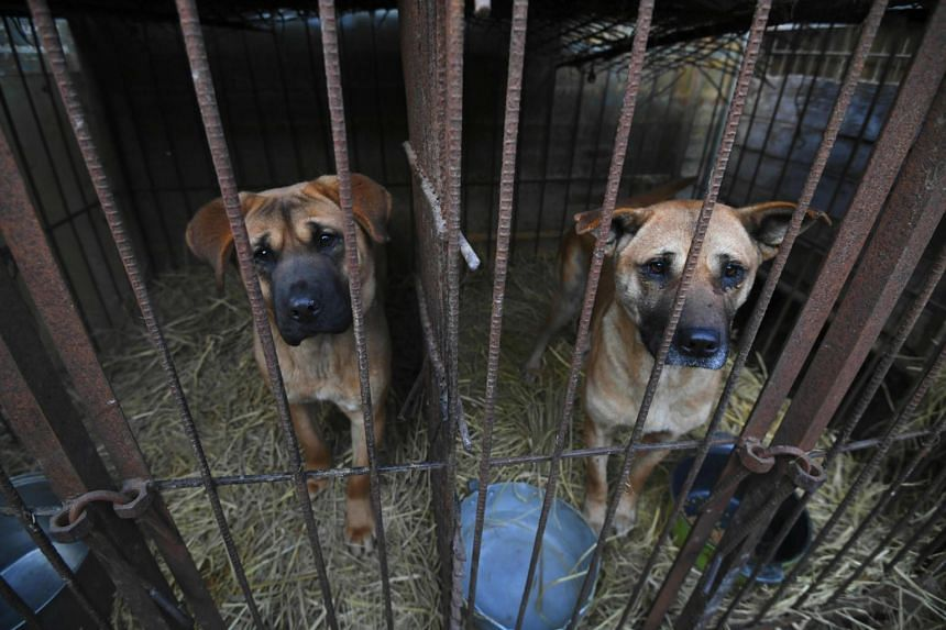 The two-week rescue operation by animal protection group Humane Society International will save about 200 canines at a dog farm in Hongseong county, 150km south of Seoul.
