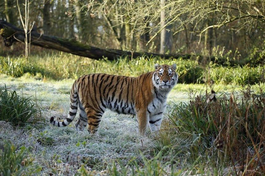 The 13-year-old Siberian female called Shouri was killed at Longleat Safari Park in south-west England when she managed to enter the adjacent paddock of two other tigers through an open door.